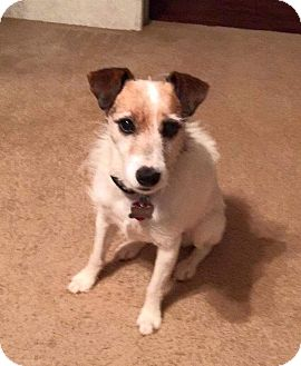 Jack Russell Terrier Dog for adoption in Austin, Texas - Jack in Dallas