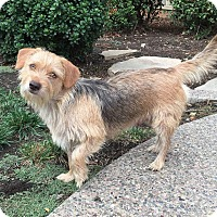 Yorkie, Yorkshire Terrier/Terrier (Unknown Type, Small) Mix Dog for adoption in Concord, California - Daphne