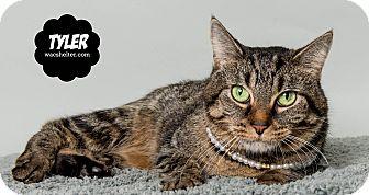 Domestic Shorthair Cat for adoption in Wyandotte, Michigan - Tyler