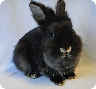 Lionhead Mix for adoption in Los Angeles, California - Spike