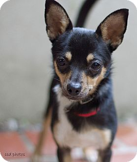 Chihuahua Dog for adoption in Baton Rouge, Louisiana - Rocky
