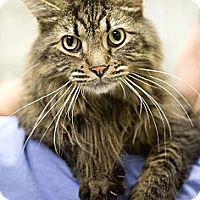 Adopt A Pet :: Bobcat - Chicago, IL