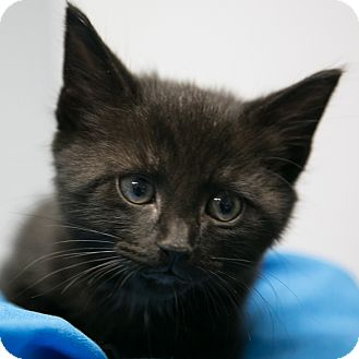 Domestic Shorthair Kitten for adoption in Staunton, Virginia - Midnight