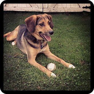 Beagle/German Shepherd Dog Mix Dog for adoption in Columbus, Ohio ...