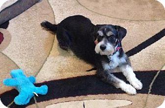 Standard Schnauzer/Sheltie, Shetland Sheepdog Mix Dog for adoption in Lenoir, North Carolina - RASCAL (SRC#1602) IN SC--RETIRED TO FOSTER HOME