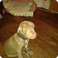 Adopt A Pet :: Stanley - Medford, MA