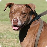 American Pit Bull Terrier/American Staffordshire Terrier Mix Dog for adoption in North Fort Myers, Florida - Ellie Mae