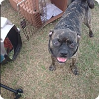 French Bulldog/Boston Terrier Mix Dog for adoption in Inverness, Florida - Bashful