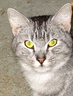 Domestic Shorthair Cat for adoption in Newtown, Connecticut - Aires