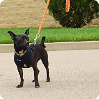 Chihuahua Mix Dog for adoption in Columbia, Tennessee - Bennie/TN