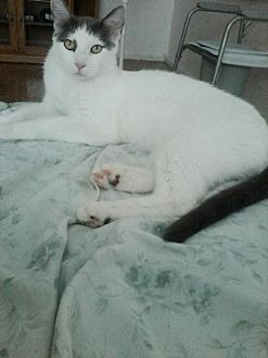 Domestic Shorthair Cat for adoption in Redding, California - Danger Mouse