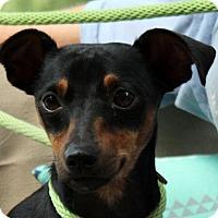Adopt A Pet :: Bo Jo - Yardley, PA