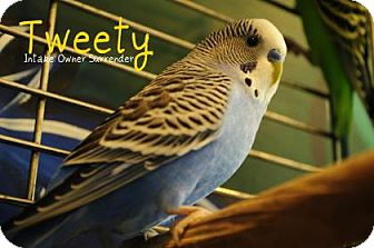 Budgie for adoption in Hamilton, Ontario - Tweety