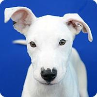 Adopt A Pet :: KIMBA - LAFAYETTE, LA