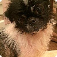 Adopt A Pet :: Jolene - Codorus, PA