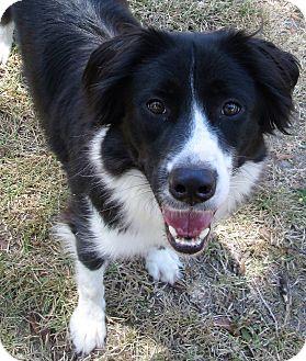 Border Collie/Australian Shepherd Mix Dog for adoption in Houston, Texas - Tip