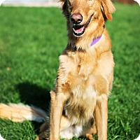 Adopt A Pet :: Simba *Foster* - Appleton, WI
