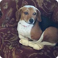 Adopt A Pet :: Ariel - Media, PA