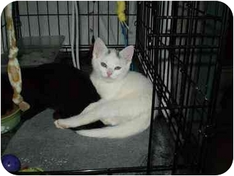 Domestic Shorthair Kitten for adoption in Boston, Massachusetts - Ivory