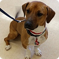 Adopt A Pet :: Copper - Alpharetta, GA