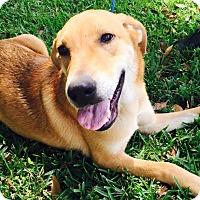 Adopt A Pet :: Calypso - Jupiter, FL