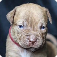 Adopt A Pet :: Calli - Miami, FL