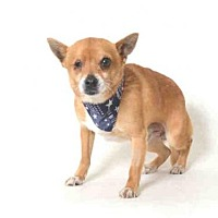 Chihuahua Mix Dog for adoption in Morgan Hill, California - Ziggy
