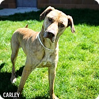 Adopt A Pet :: Carly *In Foster* - Appleton, WI
