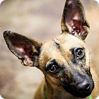 Adopt A Pet :: Roxie (Texas-Courtesy) - Sandown, NH