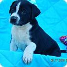 Adopt A Pet :: Kobi (7 lb) Video!