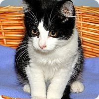 Domestic Shorthair Kitten for adoption in Gatineau, Quebec - Hanna