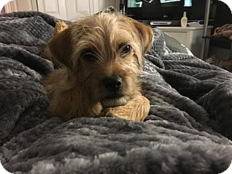 Cairn Terrier/Dachshund Mix Dog for adoption in Royal Palm Beach, Florida - Nugget the Cairn terrier
