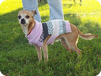 Chihuahua Mix Dog for adoption in Shelby, Michigan - Nikita
