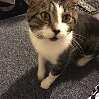 Adopt A Pet :: Dodger (FELV +) - Rockaway, NJ