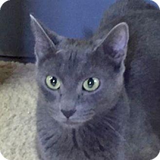 Russian Blue Cat for adoption in Phoenix, Arizona - Adiva