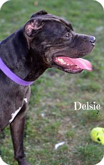 Cane Corso Mix Dog for adoption in Niagara Falls, New York - Delsie