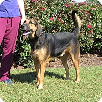 Coonhound Mix Dog for adoption in Windsor, Virginia - Smokey