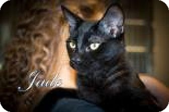 Domestic Shorthair Kitten for adoption in Middleburg, Florida - Jade