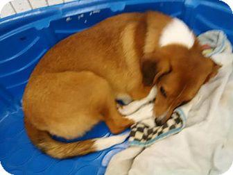 Sheltie, Shetland Sheepdog/Dachshund Mix Dog for adoption in Orlando, Florida - Laurel Orlando:East Colonial
