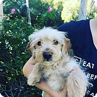 Adopt A Pet :: Shamus - Thousand Oaks, CA