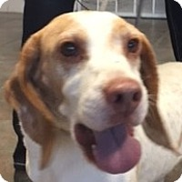Beagle Dog for adoption in Canoga Park, California - Murphy