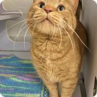 Adopt A Pet :: Homer - Shaftsbury, VT