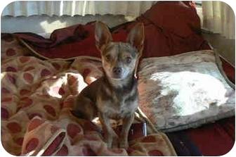 Chihuahua Dog for adoption in Thatcher, Arizona - Chico