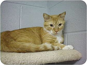 Domestic Shorthair Cat for adoption in House Springs, Missouri - Nacho