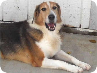 Collie Mix Dog for adoption in Wichita, Kansas - Ollie