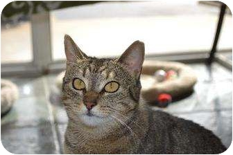Domestic Shorthair Cat for adoption in Metairie, Louisiana - Bell