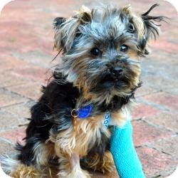 Yorkie, Yorkshire Terrier Puppy for adoption in The Villages, Florida - Karma