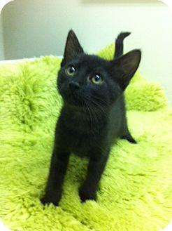 Domestic Shorthair Kitten for adoption in Irvine, California - Brando