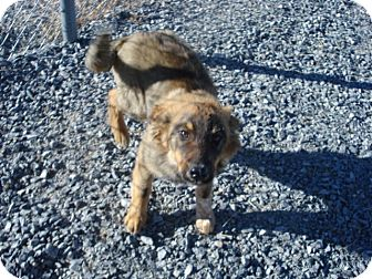 Australian Shepherd/Australian Cattle Dog Mix Puppy for adoption in Beaver, Utah - Bear