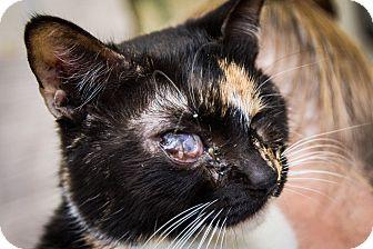Calico Cat for adoption in Chandler, Arizona - Mia Mia